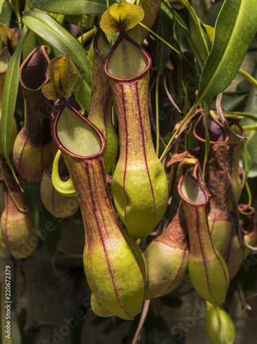 Fotomural  Pitcher plant (Nepenthes veitchii x stenophylla), a natural hybrid