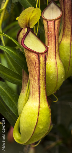 Fotografía  Pitcher plant (Nepenthes veitchii x stenophylla), a natural hybrid
