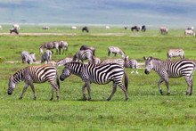 Wild Zebra At Ngorongro Crater Conservation Area. Tanzania.