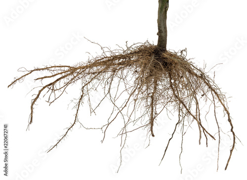 Valokuva  Roots of tree or plant isolated on white background