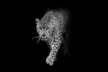 Fototapeta Pantera leopard wildlife animal interior art collection