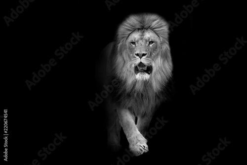 Fotobehang Leeuw African lion wildlife animal interior art collection