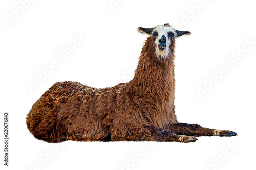 Poster de jardin Lama Brown Llama Lying Down Isolated on White
