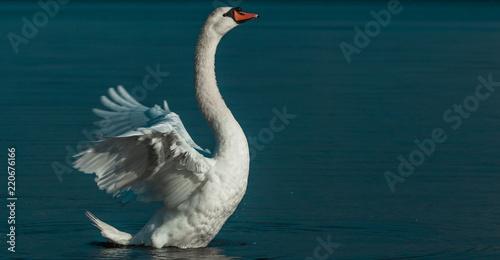Foto op Plexiglas Zwaan A Swan flapping his Wings elegantly on a Lake