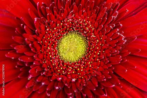 Spoed Foto op Canvas Gerbera texture of red gerbera