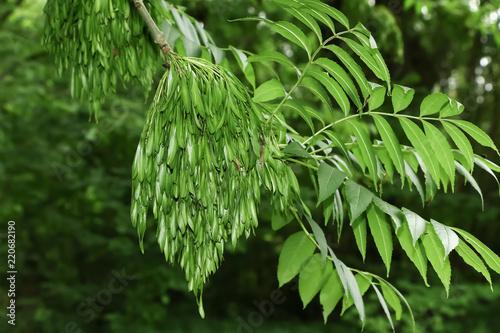 Früchte, Samen der Esche, Fraxinus excelsior