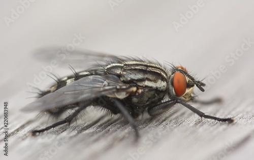Fliege Nahaufnahme