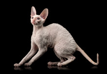 Thoroughbred White Cornish Rex Cat On Black Background