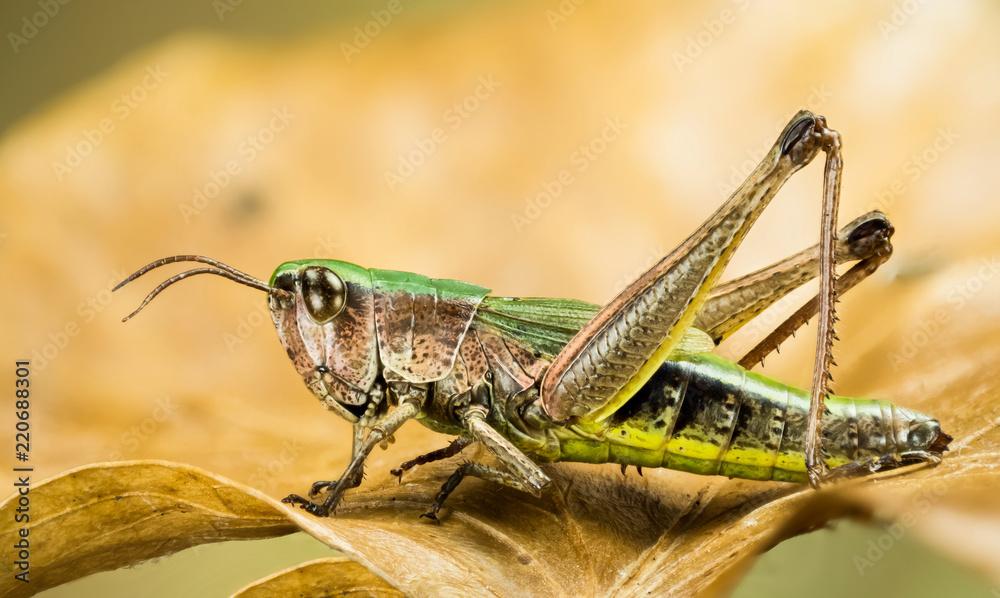 Fotografie, Obraz Lesser Marsh Grasshopper, Chorthippus albomarginatus, Omocestus viridulus, Commo