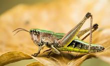 Lesser Marsh Grasshopper, Chor...