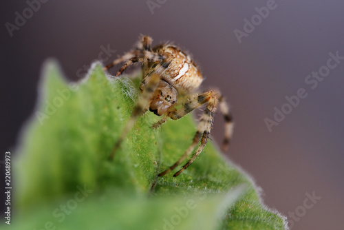 garden cross spider (Araneus diadematus) on a leaf, an orb-weaver spider found in Europe and North America, macro shot with copy space