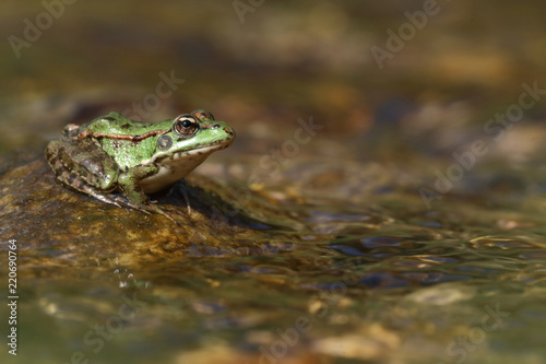 Tuinposter Kikker Perez's frog (Pelophylax perezi) on a stone in a river