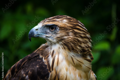 Fotografering  Red Tailed Hawk