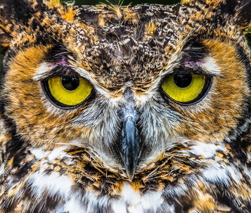 Spoed Foto op Canvas Uil Great Horned Owl