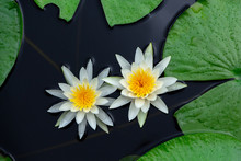 American White Water Lily (Nymphaea Odorata), Two Flowers Floating On Water With Lily Pads - Long Key Natural Area, Davie, Florida, USA
