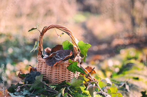 Still life with auricularia mushrooms and ivy in the basket, natural seasonal outdoor background Wallpaper Mural