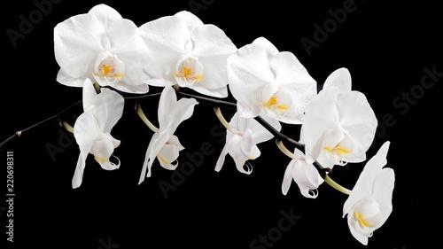 biały storczyk na czarnym tle - 220698311