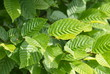 Leinwandbild Motiv Hainbuchenhecke Blätter Carpinus betulus