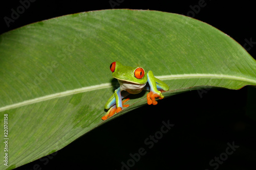 Tuinposter Kikker Red eyed tree frog in Costa Rica