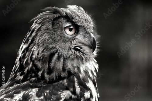 Black and white portrait owl