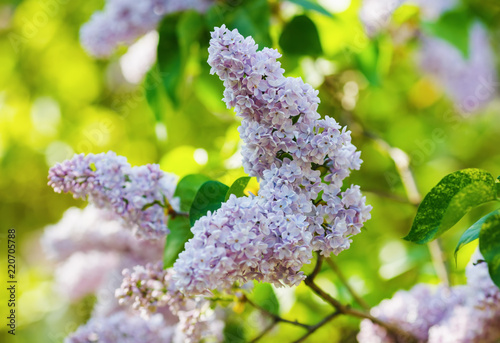 Foto op Canvas Lilac Pink lilac flowers with green leaves. Spring blossom. Selective focus
