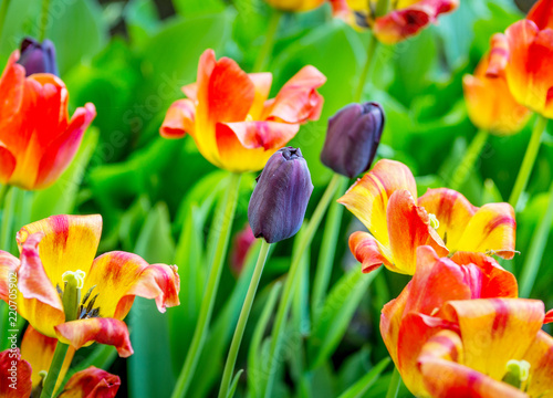 Foto op Canvas Bloemen Background of colorful colorful fresh tulips