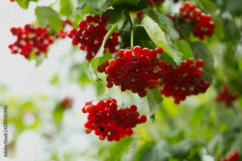 Hawthorns - Crataegus are among medicinal plants containing Flavonoids, otherwise called bioflavonoids or vitamin P Canvas Print