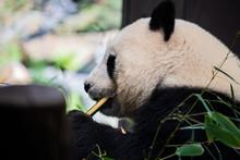 Panda Snacking