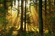 Sonnenstrahlen im Herbstwald, Nadelwald im morgendlichen Sonnenlicht, Hintergrund