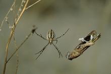 Golden Silk Spider (Nephila Cl...