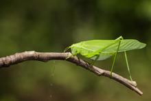 Image Of Green Bush-cricket Lo...