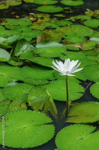 Keuken foto achterwand Waterlelies Beautiful white water lily flower in the pond.