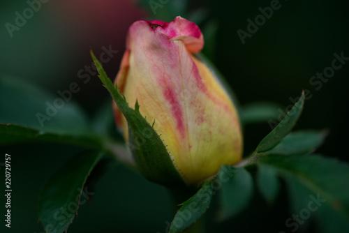 Fotografie, Obraz  Macro shot of the Peace rose, formally Rosa 'Madame A