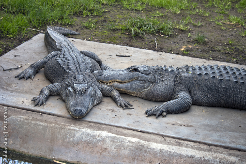 two American crocodiles