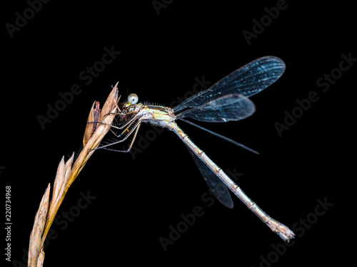 Dragonfly Insect Sitting on Plant Macro Portrait on Black Background