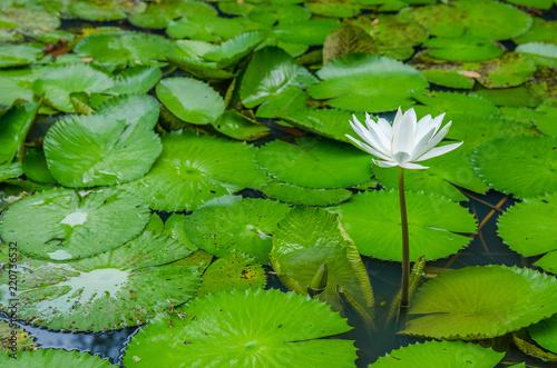 Deurstickers Waterlelies Beautiful white water lily flower in the pond.
