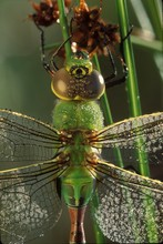 Green Darner Or Common Green D...