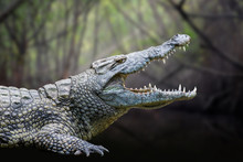 Crocodile In National Park Of ...