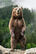 Big Brown Bear Standing On His...