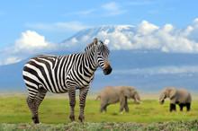 Zebra On Elephant And Kilimanjaro Background