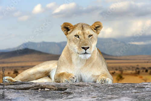 African lion in the Park South Africa Fototapeta