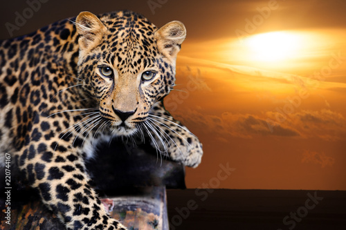 Leopard on sunset
