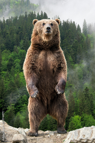 Big brown bear standing on his hind legs Poster Mural XXL