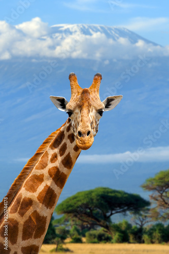 Giraffe on Kilimanjaro mount background in National park of Kenya
