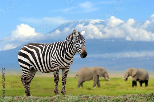 Zdjęcie XXL Zebra na słonia i Kilimandżaro tle