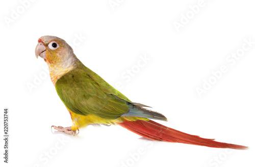 Fond de hotte en verre imprimé Perroquets Green-cheeked parakeet in studio