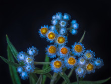 Surrealistic Fine Art Still Life Fantasy Color Macro Of A Single Isolated White Yellow Yarrow / Daisy Stem With Many Blossoms On Blue Background