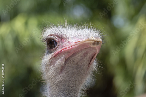 Beautiful portrait of big African ostrich . Close up, macro