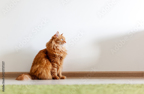 Photo sur Aluminium Chat Portrait of a funny beautiful red fluffy cat with green eyes in the interior, pets