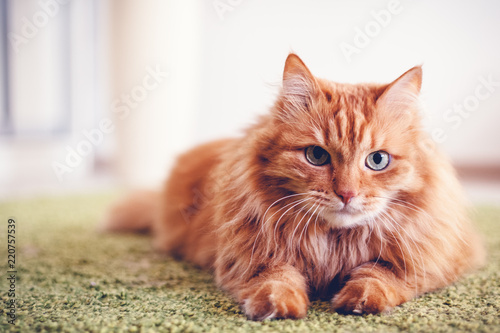 Staande foto Kat Portrait of a funny beautiful red fluffy cat with green eyes in the interior, pets